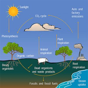 how carbon cycle works